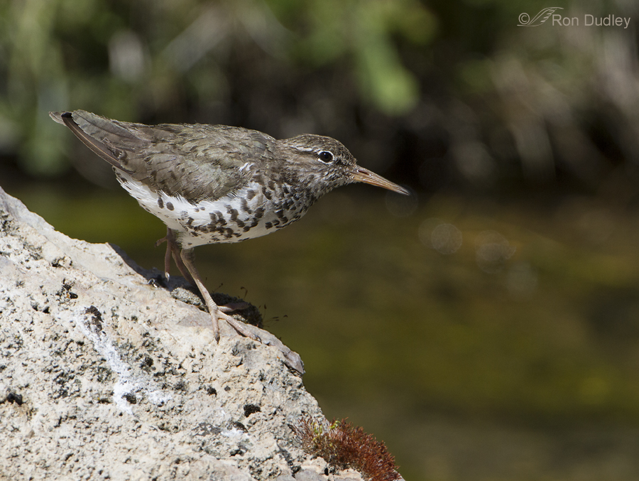 spotted sandpiper 3547 ron dudley