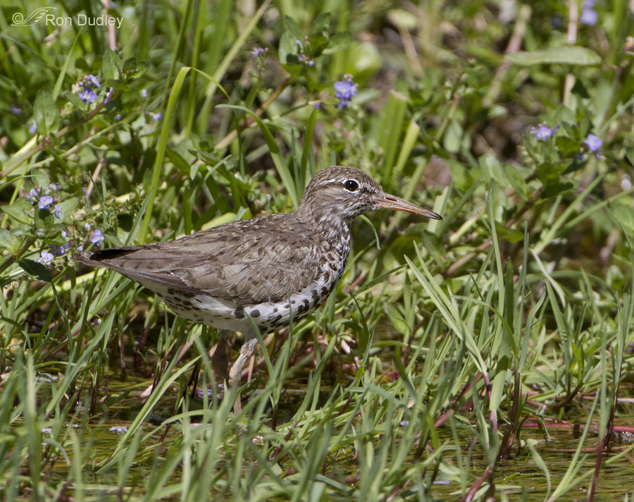 spotted sandpiper 3561 ron dudley