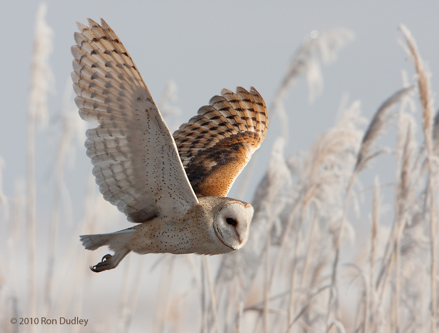 Barn Owls in Flight - Feathered Photography