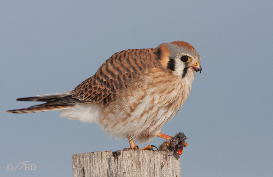 American Kestrel Female With Mouse 6493