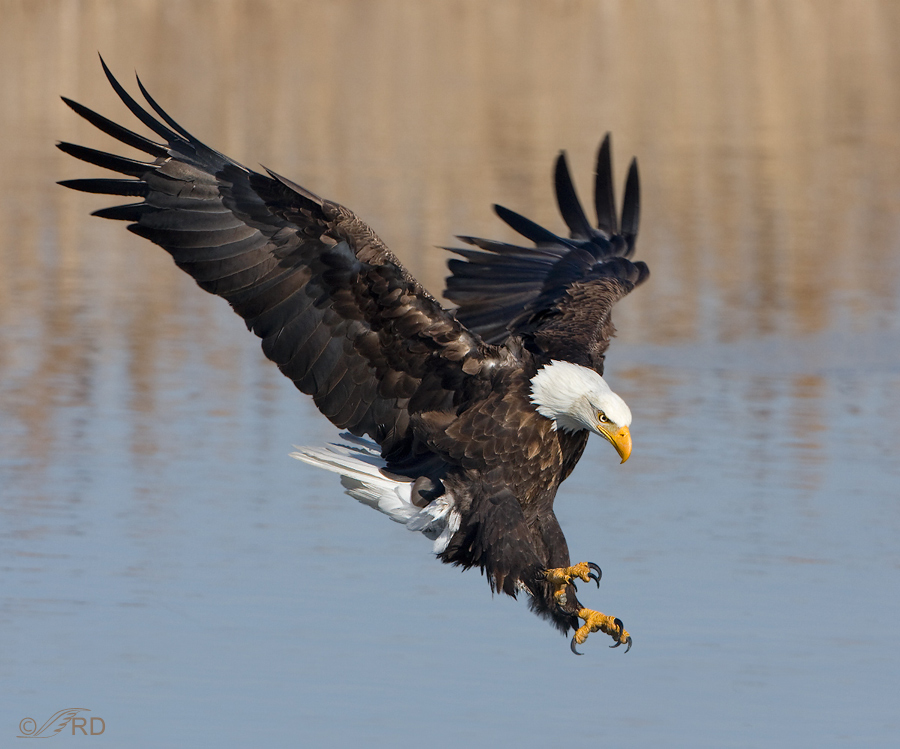 Just A Shot That I Like 11 Bald Eagle In A Dramatic Flight
