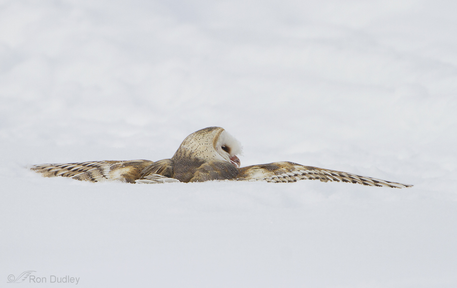 Barn Owl Hunting Adaptations And Techniques - Feathered ...