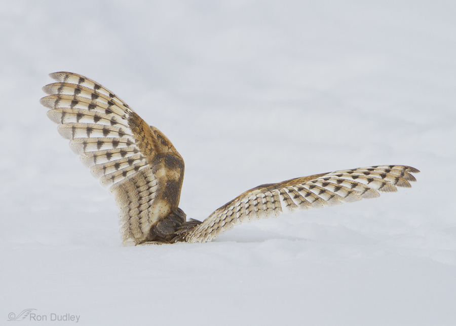 Barn Owl Hunting Adaptations And Techniques 171 Feathered